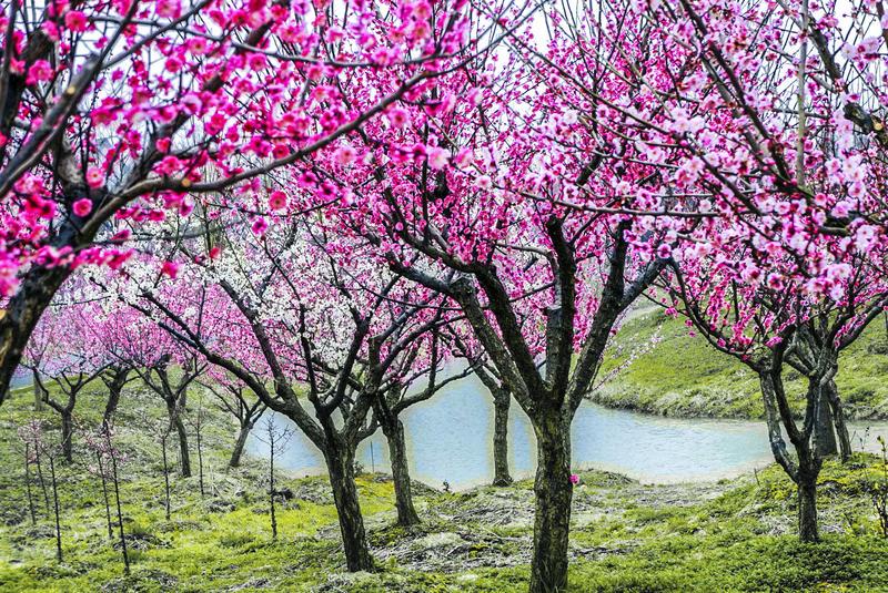 """""""花开海上""""——我与春天,只一树梅花的距离"""