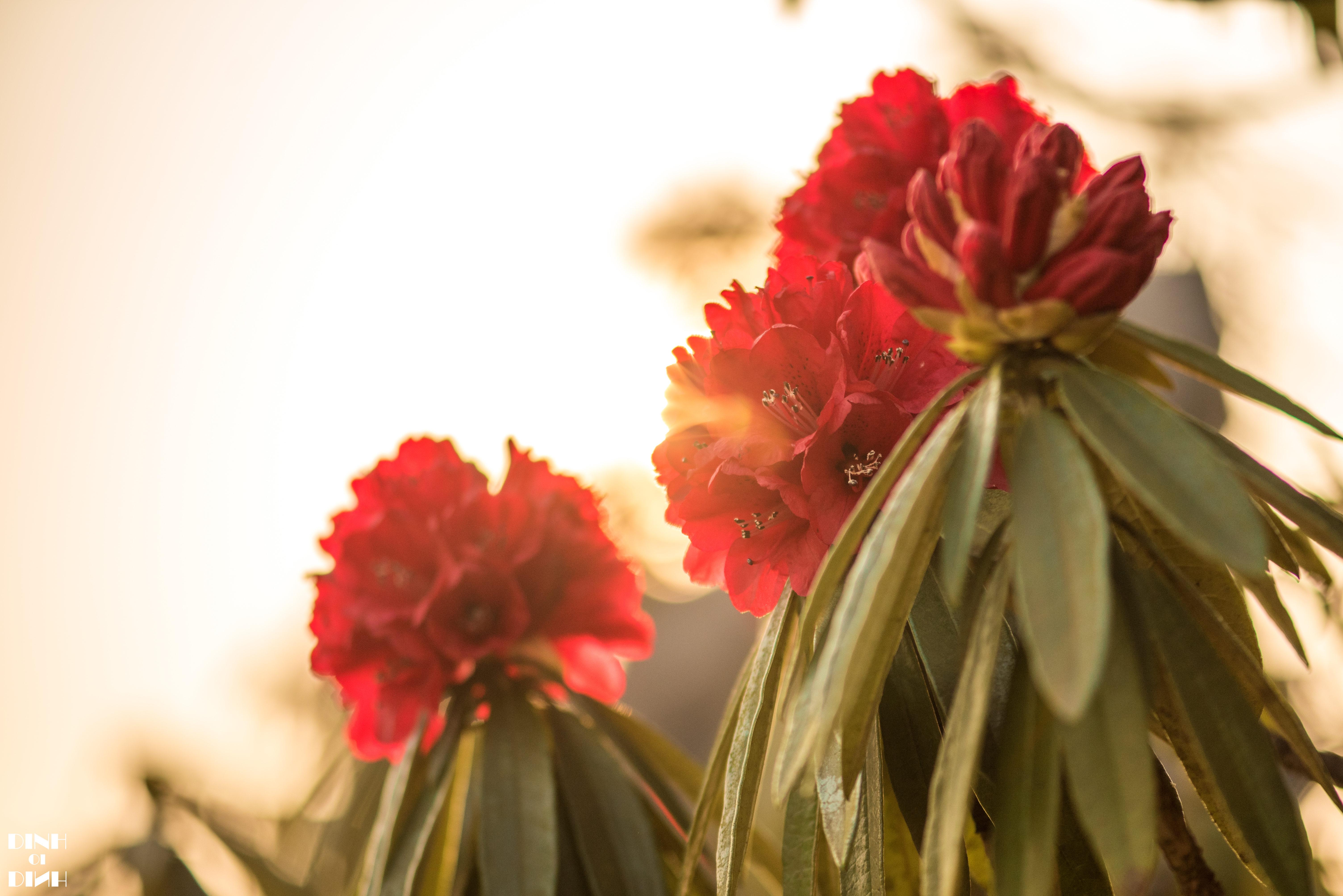 繁花迷人眼 毕节百里杜鹃开启最美春天 杜鹃花赏花攻略