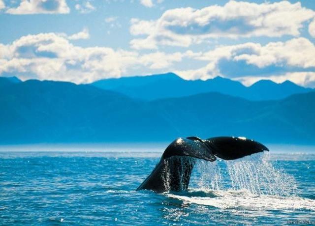 <新西兰南岛 凯库拉观鲸观海豚(中文手册+自驾前往)>