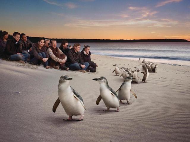 <墨尔本菲利普企鹅岛中文一日游>企鹅归巢普通看台+Maru动物园 中文导游